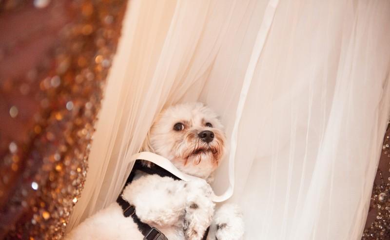 dog on wedding dress