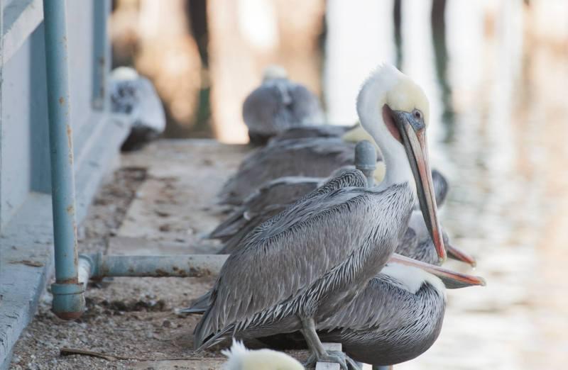 Pelican Montery CA