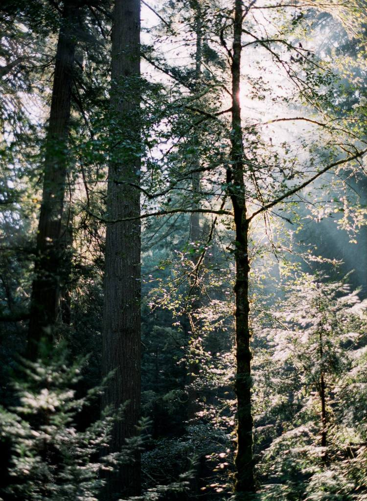 a wedding photographers film photos in the redwoods