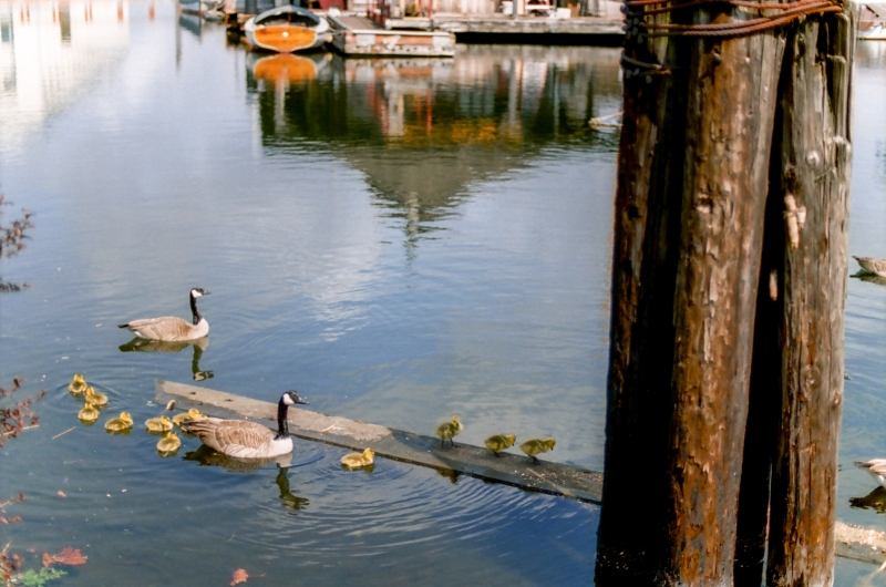 baby geese south lake union seattle