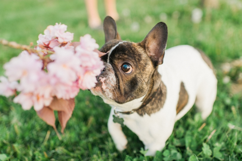 french bulldog cherry blossom film photography