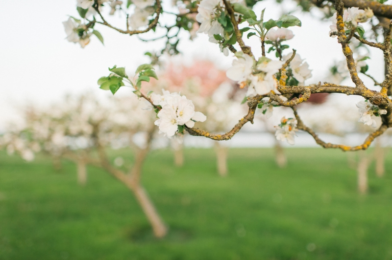 whidbey island cherry blossom photography