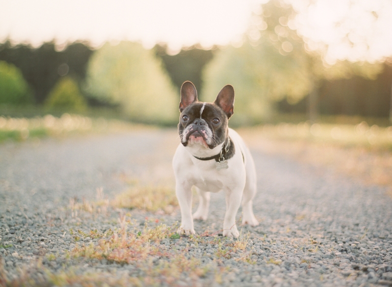 french bulldog fuji 400h film whidbey island