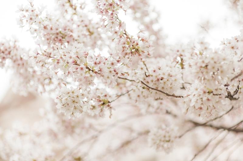 cherry-blossom-0200