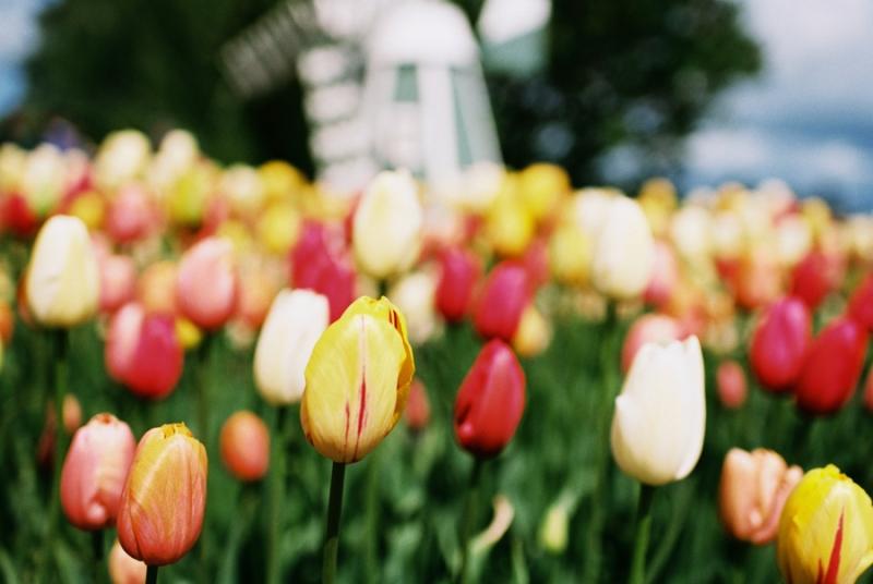 Baby-Tulip-Fields-WA-003