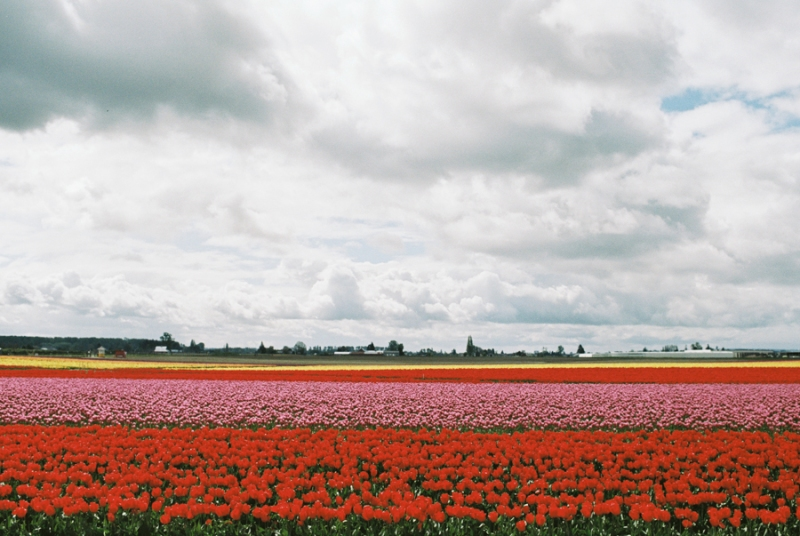 Baby-Tulip-Fields-WA-030