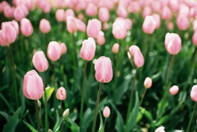 Skagit Valley Tulip Festival Photos on Film portra 160